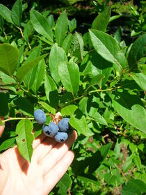 blueberry picking-2.JPG